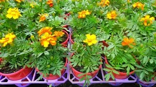 How to grow Marigold Plants in Pots