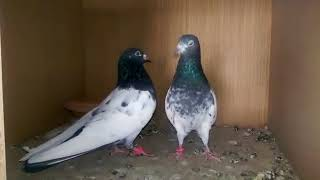 BANKAY PIGEONS FOR SALE 03002279152