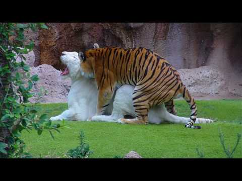 White Tiger and Bengal Tiger - Loro Parque - Tenerife [Full HD]