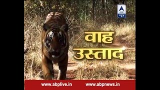 Jungle: The journey of a tiger from