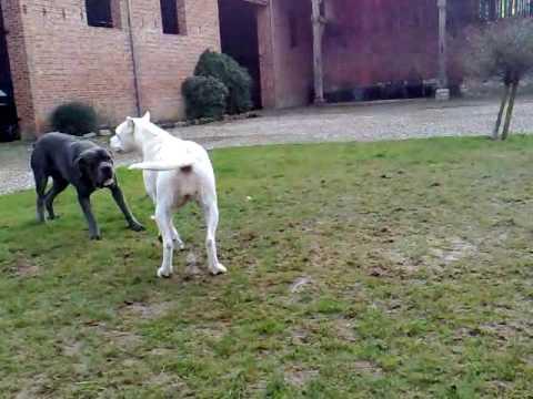 Cane Corso vs Dogue argentin Dogo Argentino