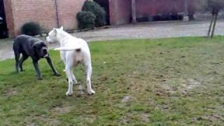 Cane Corso vs Dogue argentin - Dogo Argentino