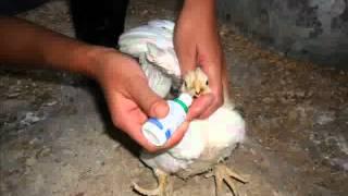 Pollo de engorde con síntomas respiratorios y digestivos