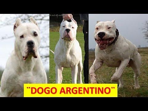 Pelea de perros Dogo argentino Mascota o asesino