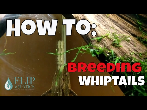 How to Breed Whiptails - How to Sex, Water Parameters and More with All Oddball Aquatics