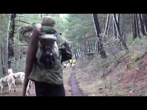 El jabali del pantano Rehalas en acción Perros de Caza