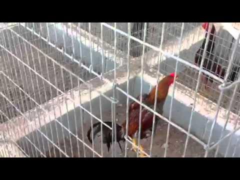 Qta el Tauro 2 Pollos y gallos 2014