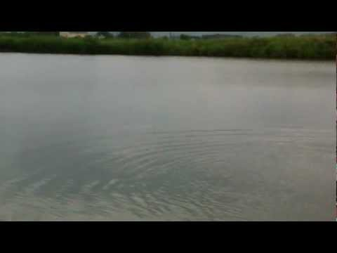 видео ловля белого амура на камыш