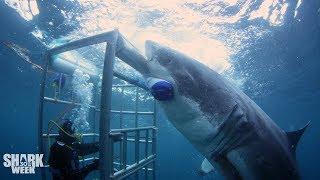 The Boldest Bites | Shark Week