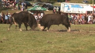 Bull fights help ease Bosnia's ethnic divisions