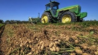 How peanuts are harvested / picked