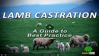 LAMB CASTRATION - A Guide to Best Practice