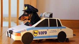 "Dachshunds Play ""Cops & Robbers"" - Crusoe & Oakley Dachshund"
