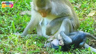 Pity Milto baby try hard for milk mom|Peace of mom weaning her baby with love&care|Monkey Daily 825