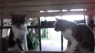 Mis gatos - Aveces se pelean
