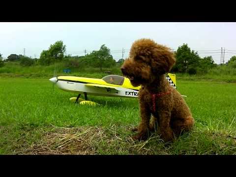 紅貴賓Pinky 看飛機!!