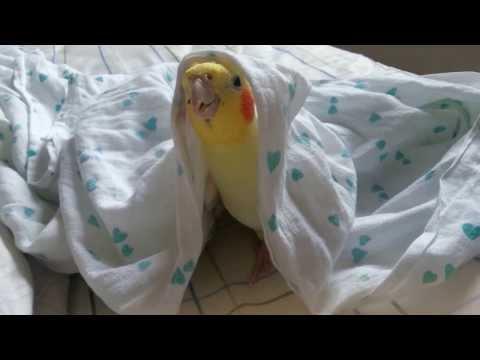 Calopsita cantando debaixo do lençol