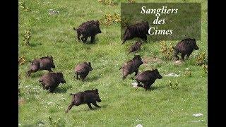 Chasse aux Sangliers des Cimes - Compagnies de 15 Sangliers