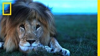 Understanding the Lives of Lions   National Geographic