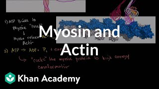 Myosin and actin | Circulatory system physiology | NCLEX-RN | Khan Academy