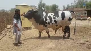 Punjab Cattle Farm 2018 Karachi Sohrab Goth Studio video