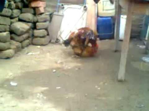 apareaminto de gallo y gallinaa