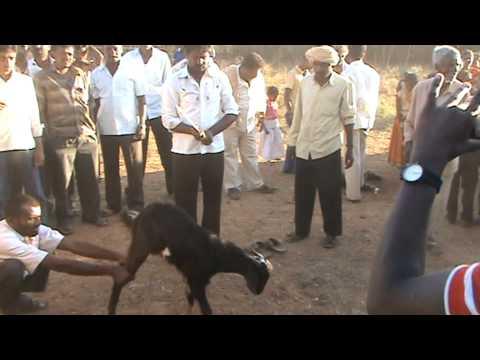 Goat s Head Cutt off on eve of sankranti festival