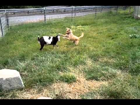 dog and goat playing