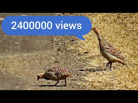 How Cross busy traffic road by Gray Francolin Family or Francolinus pondicerianus or grey partridge