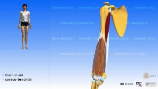 Les loges musculaires du bras