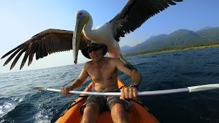 GoPro: Pelican Learns To Fish