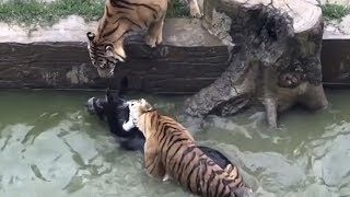 Live Donkey Thrown into Tiger Pit | China Uncensored