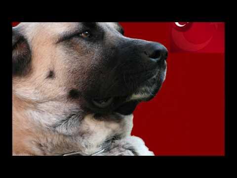 Kangal vs Pastor Caucásico  Caucasian Shepherd Dog