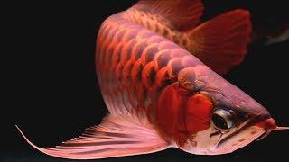 Si Naga Ikan Arwana Yang Mempesona (Arowana Fish)