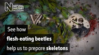 Secret life of the beetles, featuring a macaw, owl and pheasant | Natural History Museum