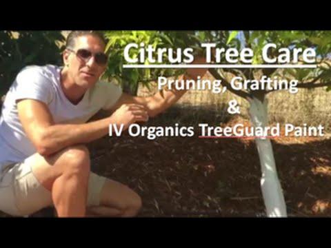 Citrus Tree Care | TOPICS: Pruning, Grafting & IV Organics Organic Paint