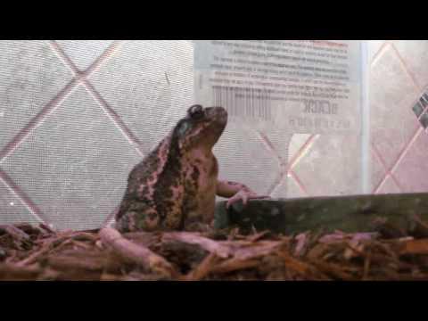 toad eating HUGE moth