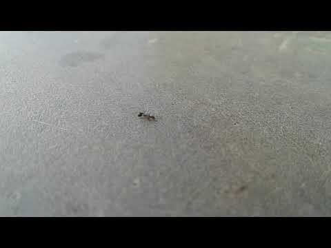 How the ant moves when it is injured
