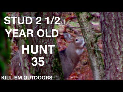 Stud 2 1/2 Year Old (Hunt 35)