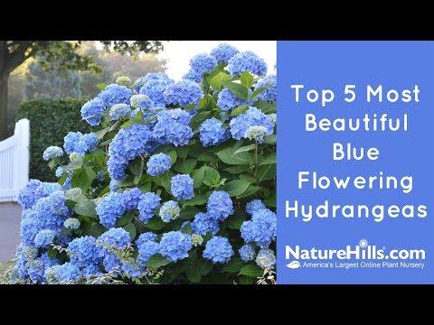 Top 5 Most Beautiful Blue Flowering Hydrangeas | NatureHills.com