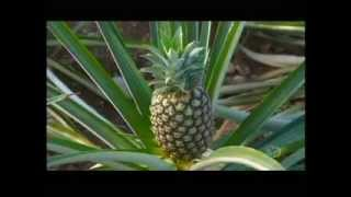 How Its Made   Pineapples Discovery Channel