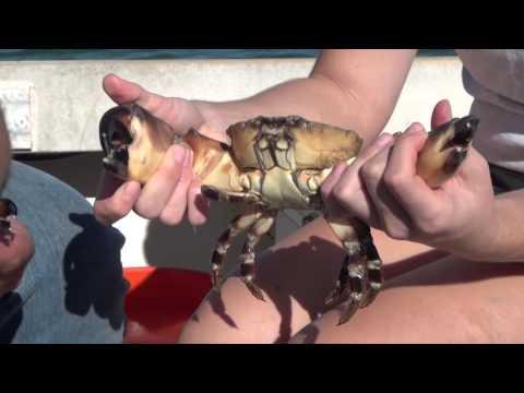 The Scoop on Stone Crabs