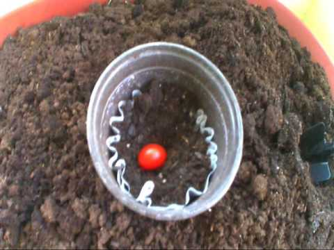 How to grow grape tomato plants from one grape tomato