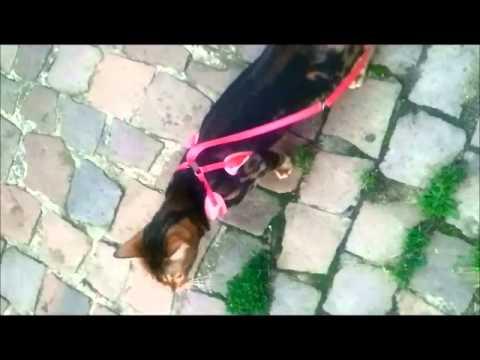 Bengal Walkies - Hazel