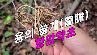 용의쓸개(龍膽)만큼 쓴 항암약초~!! 쏙쓰림, 만성위염, 담낭암, 췌장암, 위암.