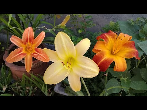 Daylilies on Beautiful Bloom | Daylily | Ruby Spider | Fulva (Tawny Daylily) | Penny's Worth
