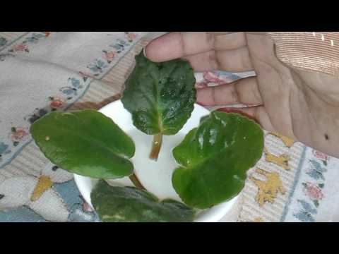 💜How I propagate African Violets💜
