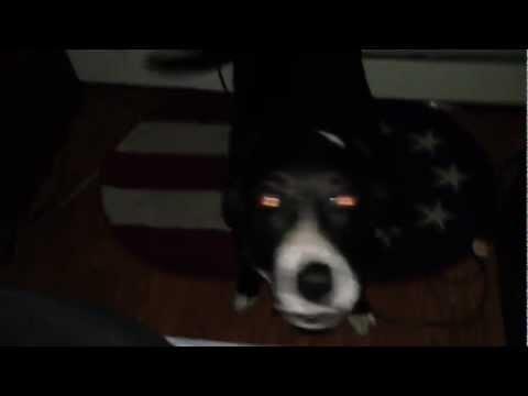 Dog Having Night Tremers