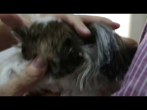 A Shih Tzu has an itchy groin. Coconut oil application does not work.  What to do?