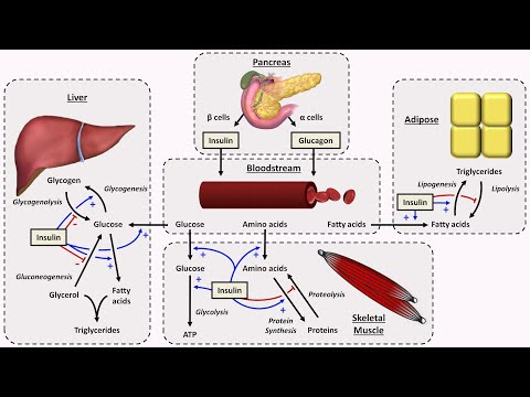 Physiology of Insulin and Glucagon